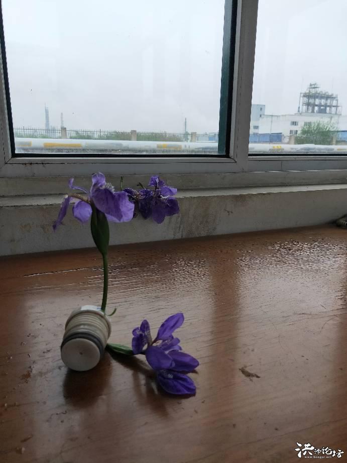 又一年蝴蝶花盛开的季节,不同凡响的美,采几支放桌上慢慢拍和玩味哦~~~