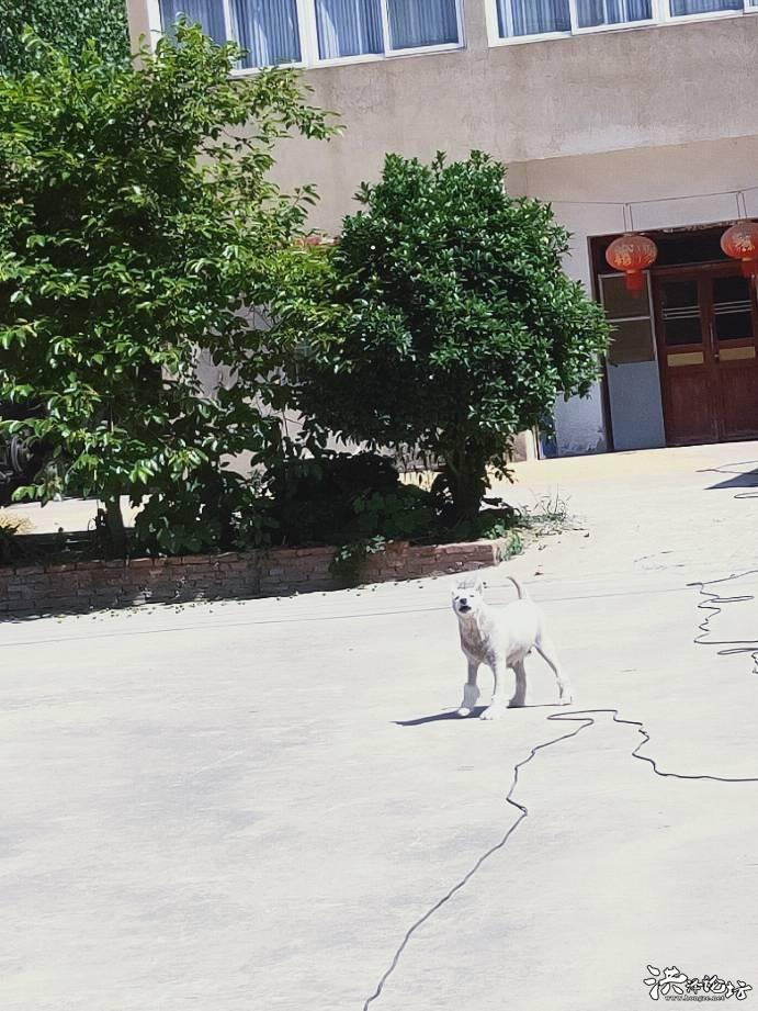 黄集原新张村补锅张人家这凶巴巴的狗具体是什么犬种,比特犬吗?
