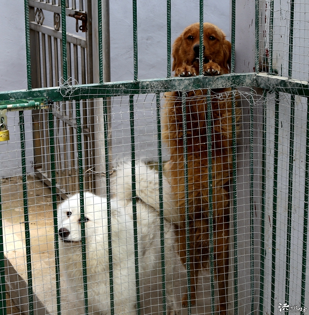 洪泽爱狗人士必须看,被收容宠物犬领回流程!