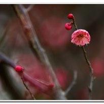 梅花吐蕊迎春开