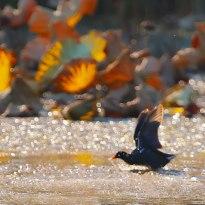 东湖黑水鸡