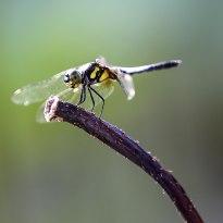 一只蜻蜓立枝头