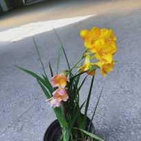今天从花市刚买的香雪兰和网购的绿萝花架,请广大坛友观众都来看看可好啊?