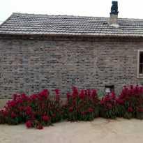 鸡冠花也有许多种花型,瞧这岔河张桥村(现幸福村)人家墙边的鸡冠花好圆润啊